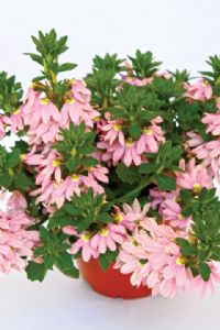 Scaevola Top Pot Pink